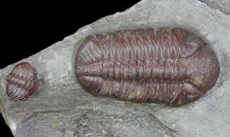 "Buy 1.7"" Red Barrandeops Trilobite With Enrolled Specimen - #66343"