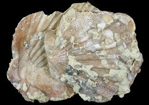 Chesapecten - Fossils For Sale - #66393