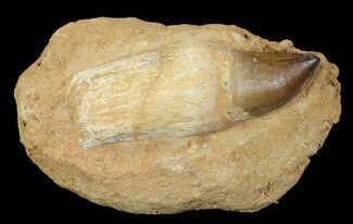 Prognathodon sp. - Fossils For Sale - #66528