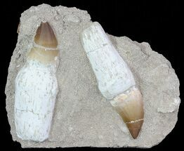 Buy Pair Of Mosasaur (Prognathodon) Rooted Tooth In Rock - #66535
