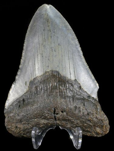 "Bargain, 3.76"" Megalodon Tooth - North Carolina"
