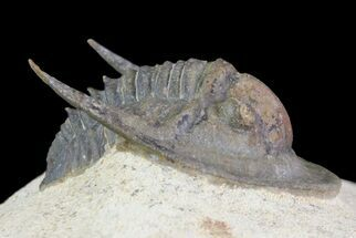 "Buy .85"" Sculptoproetus Trilobite - Excellent Example - #66907"