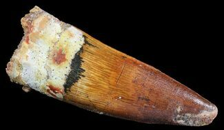 "2"" Spinosaurus Tooth - Feeding Worn Tip For Sale, #66959"