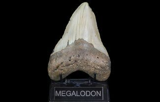 "Bargain, 5.4"" Megalodon Tooth - North Carolina For Sale, #67328"