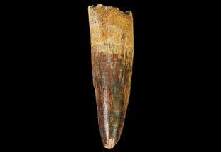 "Buy 2.1"" Spinosaurus Tooth - Feeding Worn Tip - #67387"