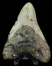 Carcharocles megalodon - Fossils For Sale - #67287