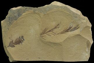 Buy Metasequoia (Dawn Redwood) Fossil - Montana  - #67537