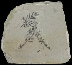 Metasequoia (Dawn Redwood) Fossil - Montana  For Sale, #67544