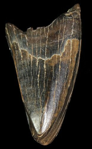 ".88"" Albertosaurus Premax Tooth - Alberta (Disposition #000028-29)"