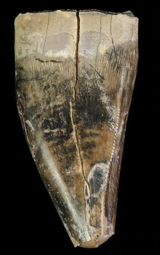 "1"" Albertosaurus Premax Tooth - Alberta (Disposition #000028-29)"
