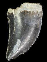 "Buy .75"" Serrated Theropod Tooth - Alberta (Disposition #000028-29) - #67627"