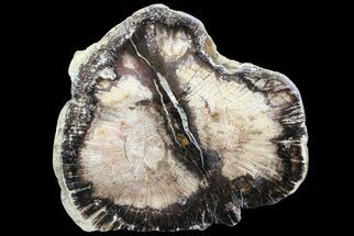Oak - Fossils For Sale - #68034
