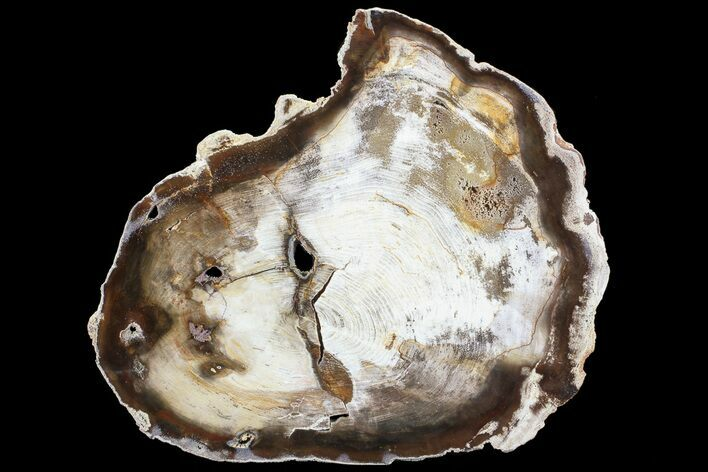 "9.8"" Petrified Wood (Hickory) Slab - Deschutes River, Oregon"