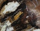 "6.8"" Polished Petrified Wood (Oak) Slab - Oregon - #68021-1"