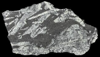Fossil Graptolites (Didymograptus) - Great Britain For Sale, #68006