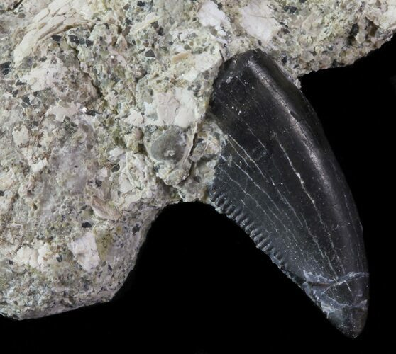 ".7"" Serrated Theropod Tooth Still In Rock - Montana"