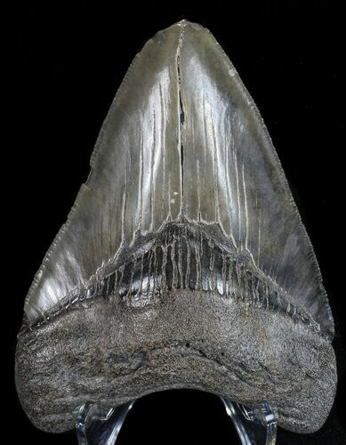 "3.39"" Fossil Megalodon Tooth - Georgia"