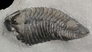 "3.8"" Trimerus Trilobite - Rochester Shale, New York For Sale, #68105"