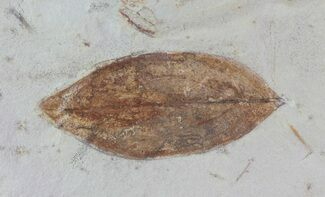 "Buy 1.9"" Detailed Fossil Leaf (Cornus) - Montana - #68332"