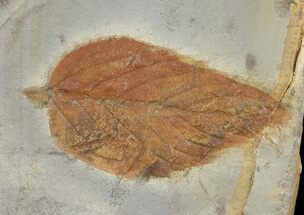 "Buy 1.3"" Detailed Fossil Hackberry Leaf - Montana - #68323"