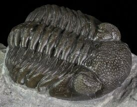 "Buy 1.4"" Long Eldredgeops Trilobite - Paulding, Ohio - #68371"