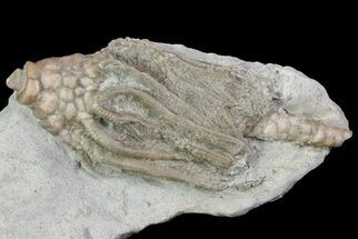 Macrocrinus mundulus - Fossils For Sale - #68487