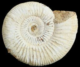 Perisphinctes - Fossils For Sale - #68199