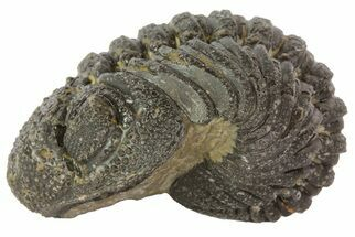 "1.7"" Barrandeops Trilobite Fossil - Partially Enrolled For Sale, #67004"