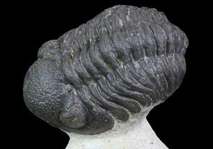 "Bumpy, 2.2"" Barrandeops Trilobite - Foum Zguid, Morocco For Sale, #68666"