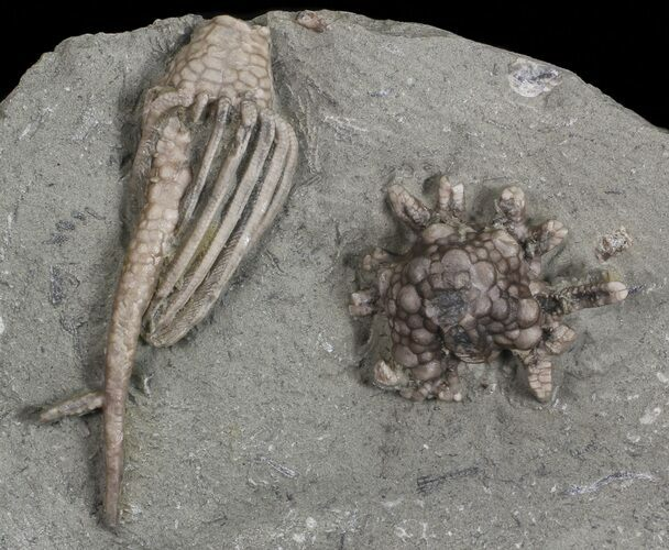 "2.5"" Macrocrinus Crinoid With Rare Split Anal Tube Pathology"
