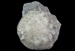 "Buy 1.6"" Crinoid Calyx (Pithocrinus) - Alpena, Michigan - #68764"