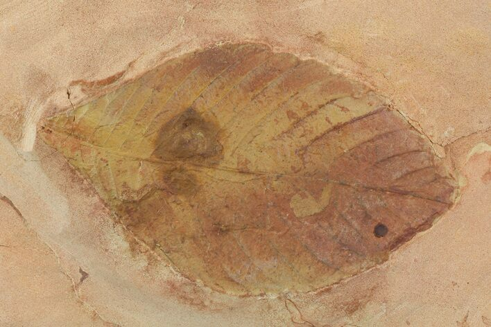 "5.6"" Red Fossil Leaf (Hickory) - Montana (Reduced Price)"