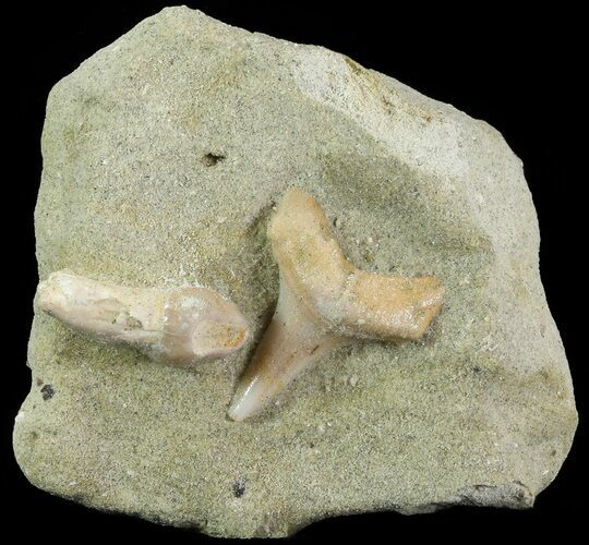 Fossil Sea Lion and Mako Shark Tooth - Bakersfield, CA