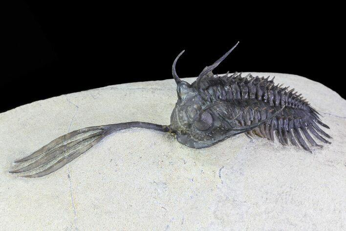 "3.7"" Trident"" Walliserops Trilobite - Excellent Preparation"