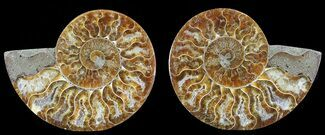 Cleoniceras - Fossils For Sale - #68850
