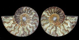"Buy 6.4"" Cut & Polished Ammonite Pair - Agatized - #69019"