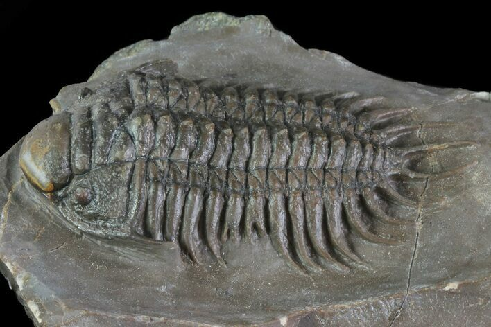"2.65"" Crotalocephalus Trilobite With Axial Nodes - Jorf, Morocco"