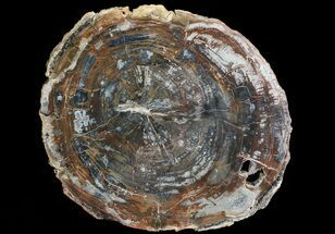 "16"" Colorful Petrified Wood Round - Madagascar For Sale, #69377"