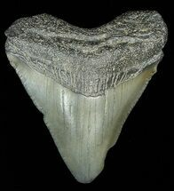 "1.79"" Juvenile Megalodon Tooth  For Sale, #69326"