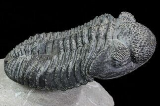 "5.3"" Drotops Trilobite With White Patina - Killer Specimen For Sale, #69755"