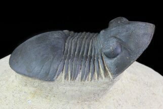 "Buy 1.85"" Paralejurus Trilobite Fossil - Foum Zguid, Morocco - #69745"