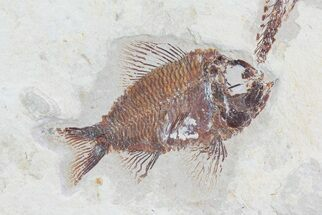 "Buy 2.4"" Pseudoberyx Fossil Fish (Rare Species) - Lebanon - #70144"