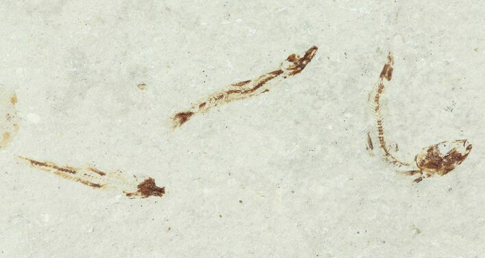Three Bargain Cretaceous Fossil Fish - Lebanon