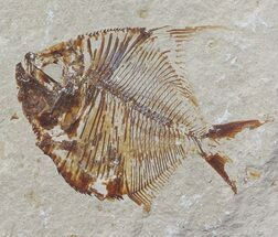 Diplomystus birdi - Fossils For Sale - #70437