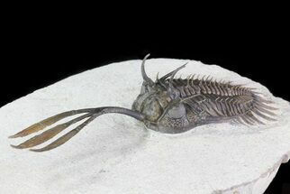 "Buy 3.1"" Trident"" Walliserops Trilobite - Excellent Detail - #70582"