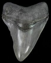 "Buy Serrated, 4.30"" Fossil Megalodon Tooth  - #70771"