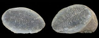 "Buy 3.4"" Pecopteris Fern Fossil (Pos/Neg) - Mazon Creek - #70375"