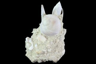 "3.8"" Tall Miocene Fossil (Gastropod) Cluster - France For Sale, #70865"
