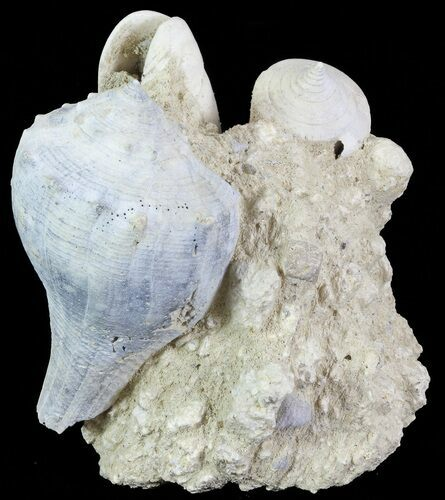 "2.9"" Tall Miocene Fossil (Gastropod) Cluster - France"