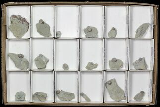 Buy Wholesale: Lot of Blastoid Fossils On Shale - 18 Pieces - #70897